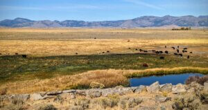 Sierra Valley with artisian well and cattle