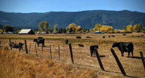 The cows of Sierraville.